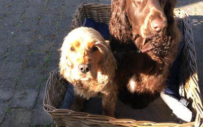 Honden spaniels donkerbruin en goud blond